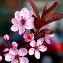bozhestvennaja-sakura-simvol-japonii