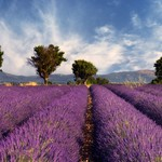 Lavender field in Provence, France