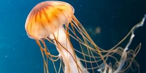5 самых опасных медуз