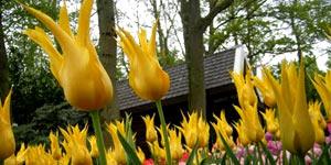 Голландия - страна цветов